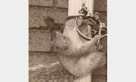 Squirrel in Leghold Trap