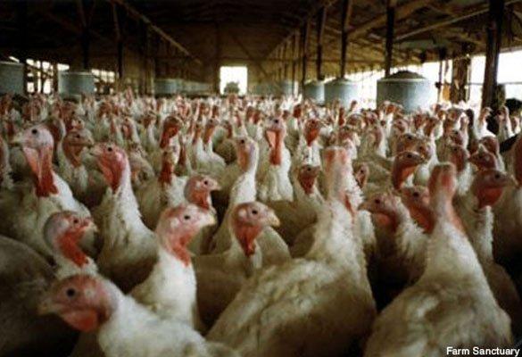 Photo Gallery: Animals Used for Food | PETA | 585 x 400 jpeg 48kB